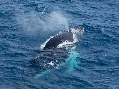 Humpbacks in the Drake Passage