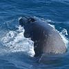 Humpbacks in the Drake Passage