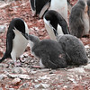 Chinstrap Penguins and chicks at Hannah Point