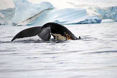 antarctica-whales-4