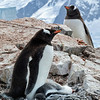 Gentoo Parents and Chick on Rocky Outcropping