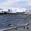 Chinstrap Penguins (Pygoscelis antarctica).  Half Moon Island, north of Burgas Peninsula of Livingston Island in the South Shetland Islands of the Antarctic Peninsula region.