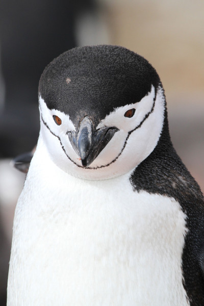 Chinstrap Penguin portrait