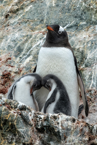 Gentoo Mother and Chicks on Rocky Outcropping
