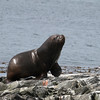 Young bull South American Sea Lion in the Beagle Channel