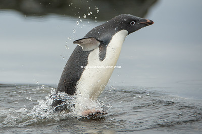 ...From the Ocean, Adelie Penguin