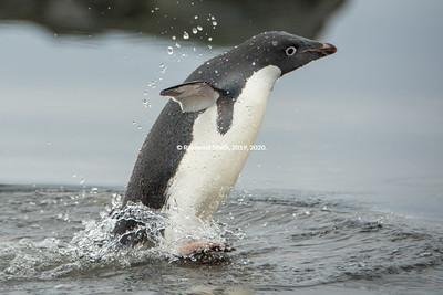 ...From the Ocean, Adelie Penguin