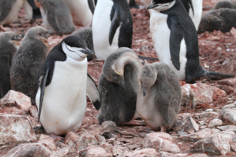 Chinstrap Penguin and chicks at Hannah Point
