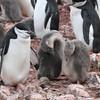 Chinstrap Penguin and chicks at Hannah Point