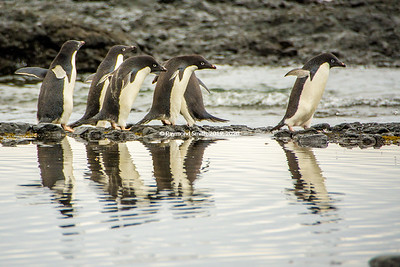Adelie Penguins on the March