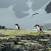 Gentoo Penguins and Bird