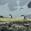 Gentoo Penguins and Bird