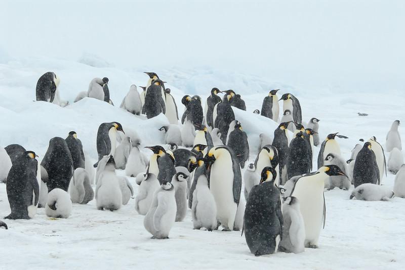 Emperor Penguins colony