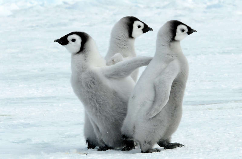 Emperor Penguins chicks