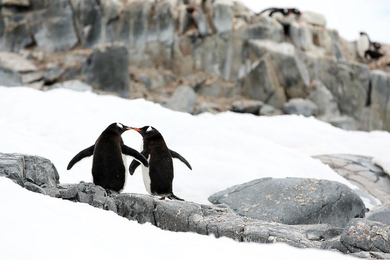 Gentoo Penguins, Damoy Point, Port Lockroy, Wiencke Island, Palmer Archipelago, Antarctica