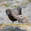 Brown Skua and chick