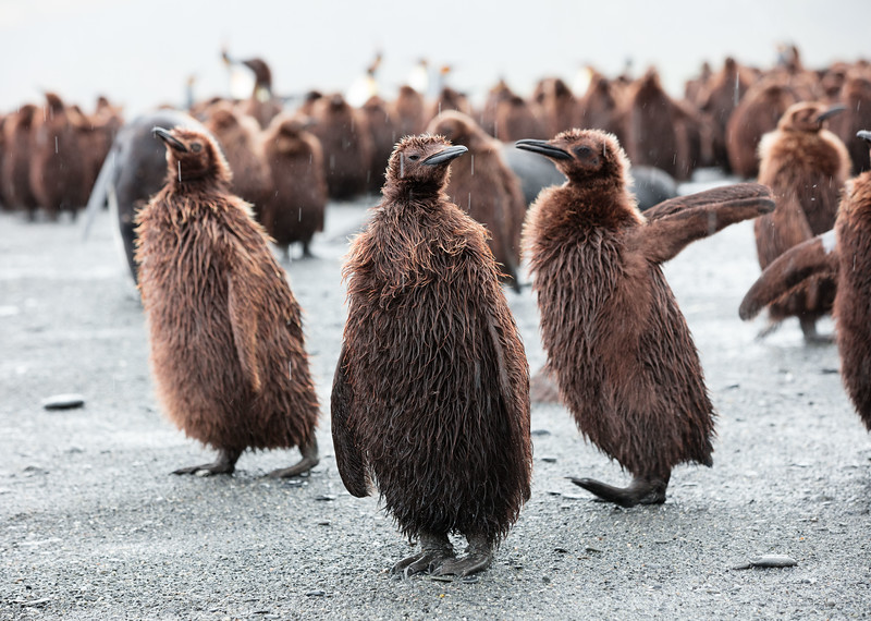 Approximately one year old Emperor penguins before they shed their feathers and acquire their tuxedos.