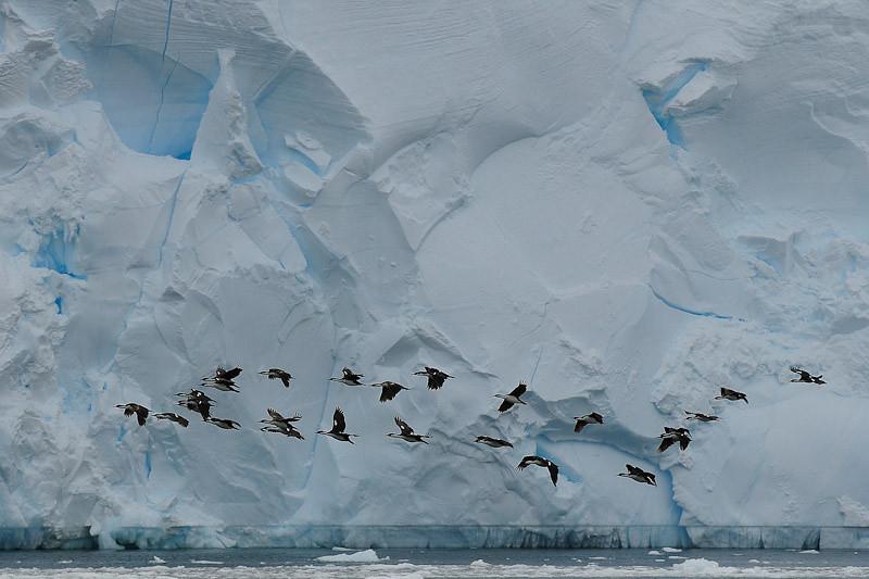Cormorants - Antarctica