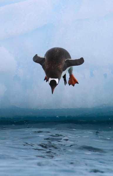 Gentoo Penguin diving off a large iceberg near the Yalour Islands