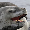 Leopard Seal on the beach on Deception Island