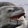 Leopard Seal on the beach on Deception Island