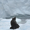 Fur Seal - Antarctica