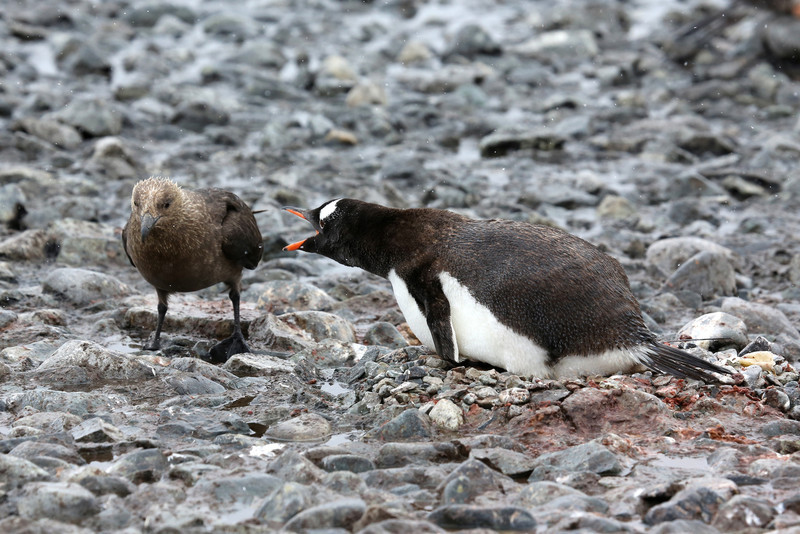 Skuas were here again trying to snatch Gentoo chicks