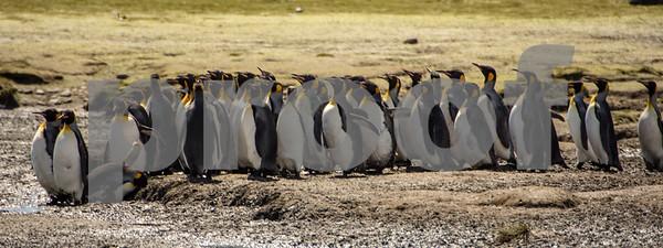 King Penguins marching  along