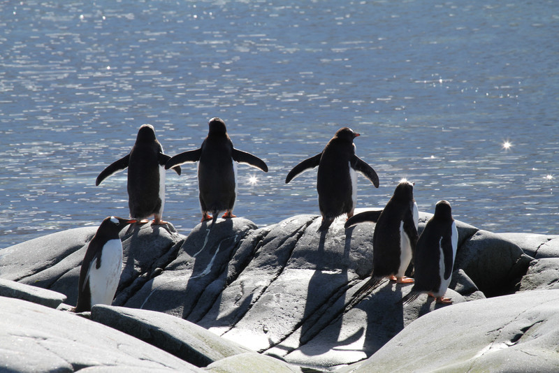 Gentoo Penguins seemingly wondering what to do!