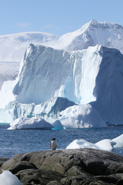 A solitary Gentoo Penguin against a backdrop of stunning scenery and icebergs