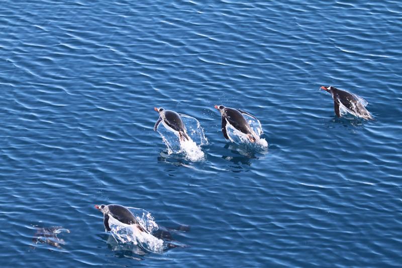 Porpoising Gentoo Penguins