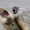 Two young male Southern Elephant Seals sparring