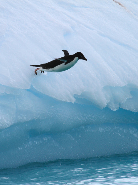 Adelie Penguin diving off a large iceberg near the Yalour Islands