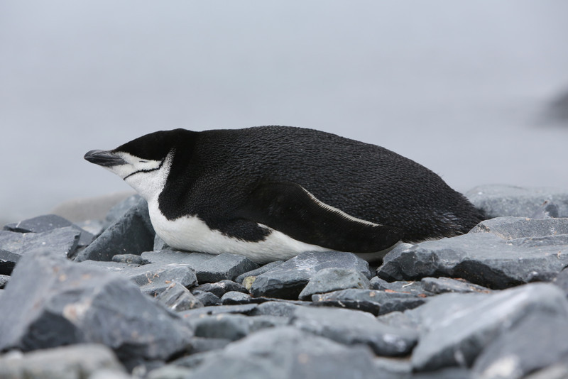 Chinstrap Penguin having a bit of a rest