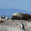 South American bull Sea Lion asleep on rocks in Beagle Channel