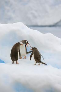 Gentoo Penguins in discussion