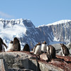 Gentoo Penguins on Pleneau Island