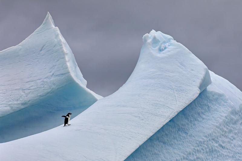 Adélie Penguin on Steep Iceberg