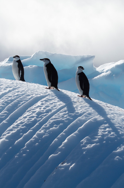 Chinstrap penguins on an exquisitely carved iceberg near Baily Head