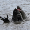 Two young male Southern Elephant Seals sparring in the surf