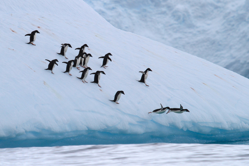 Adelie Penguins diving off a large iceberg near the Yalour Islands
