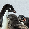 Adelie Penguin Parents and Chicks