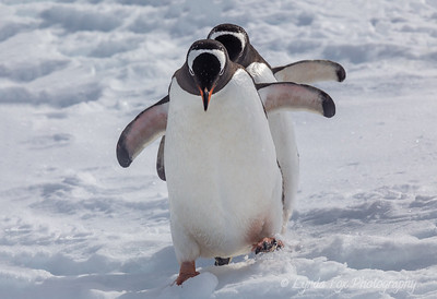 Penguins In Step