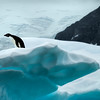 Adélie Penguin on Blue Iceberg