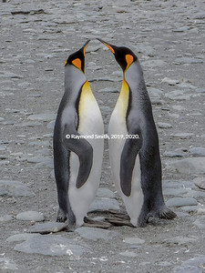 King Penguins Chatting