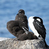 Antarctic Shag family