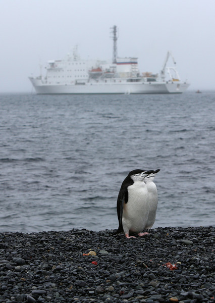 Chinstrap Penguins on Half Moon Island, South Shetlands with the Akademik Ioffe moored offshore