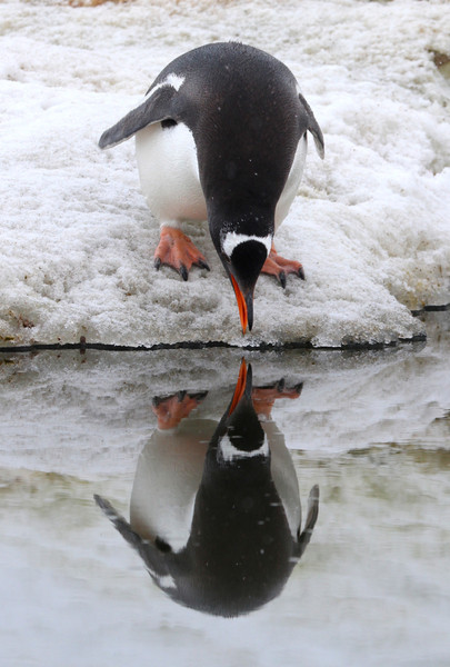 Gentoo Penguin admiring its reflection