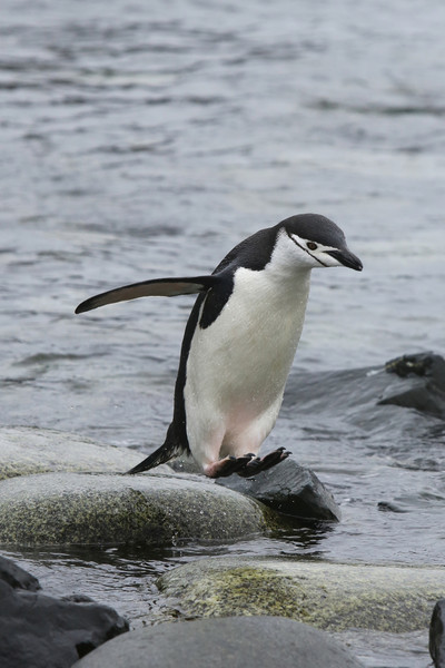 Chinstrap Penguin returning to the island.
