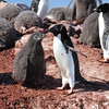Adelie Penguin and chick